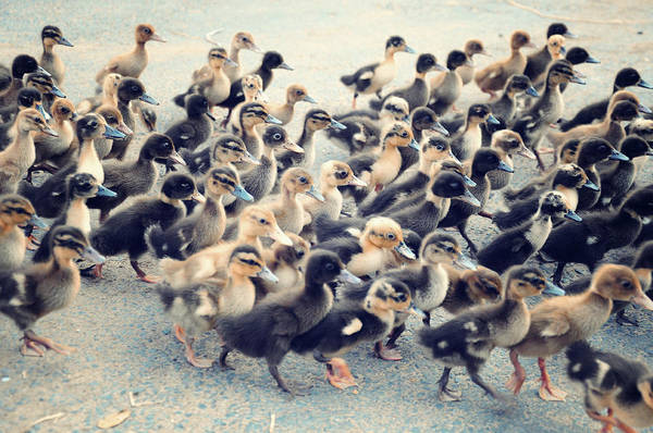 Duckling Photograph - Ducklings by Raj's Photography