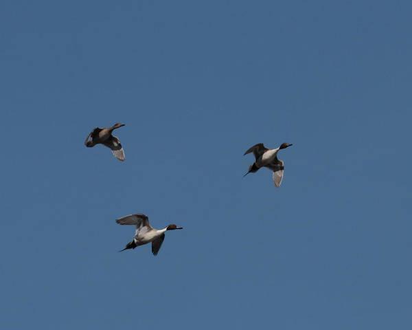 Photograph - Ducks 6110 by John Moyer
