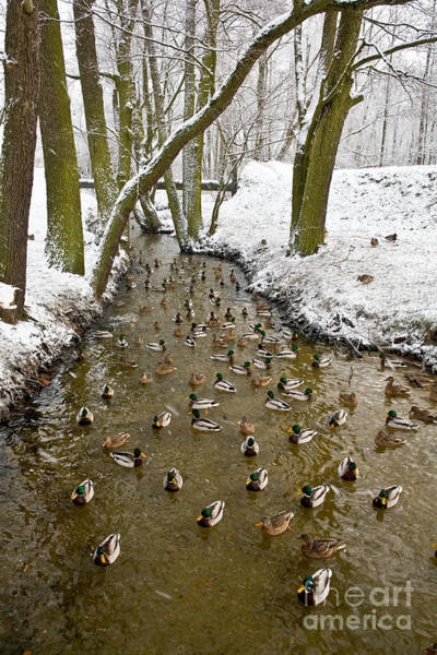 Wall Art - Photograph - Ducks Anas Platyrhynchos On The River by Tomasz Nieweglowski