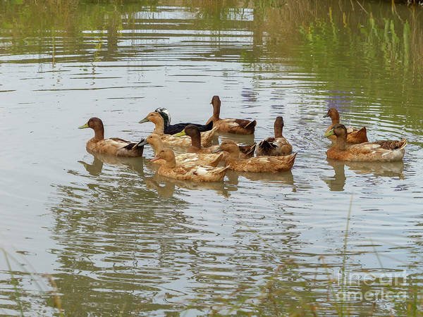 Wall Art - Photograph - Ducks In A Pond. G7 by Dan Yeger