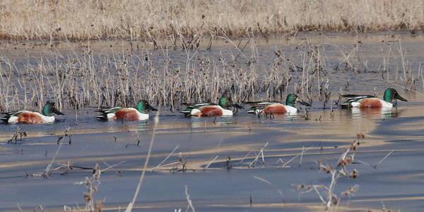 Photograph - Ducks In A Row 6403 by John Moyer