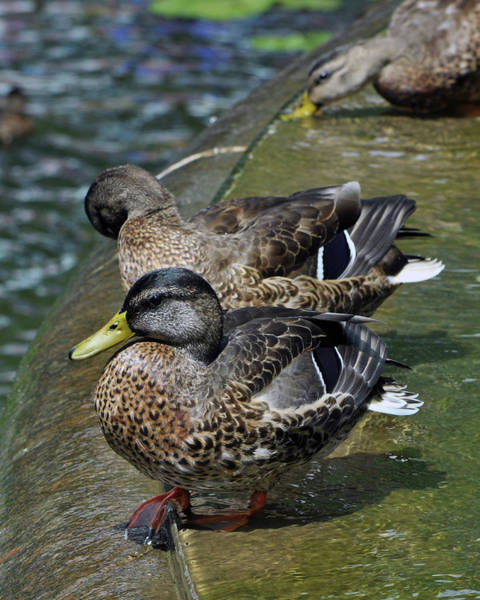 Photograph - Ducks In Battery Park by Marvin Bowser