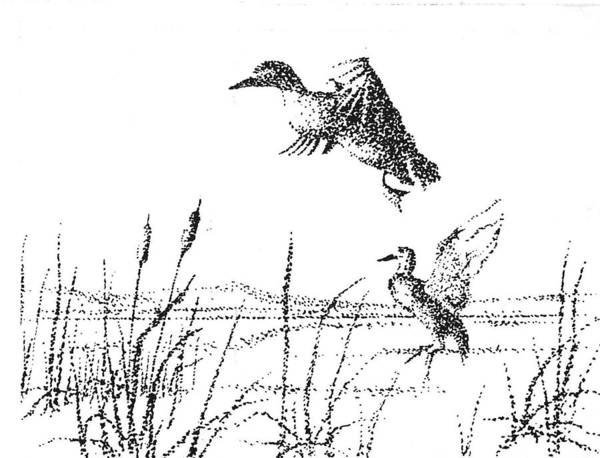 Drawing - Ducks by Kevin Heaney
