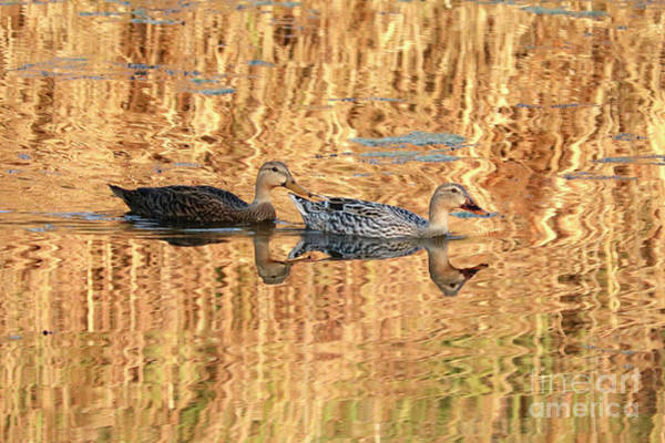 Photograph - Ducks Swim To The Light by Carol Groenen