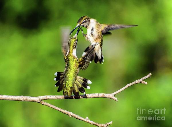 Wall Art - Photograph - Dueling Ruby-throated Hummingbird Series #4 by Cindy Treger