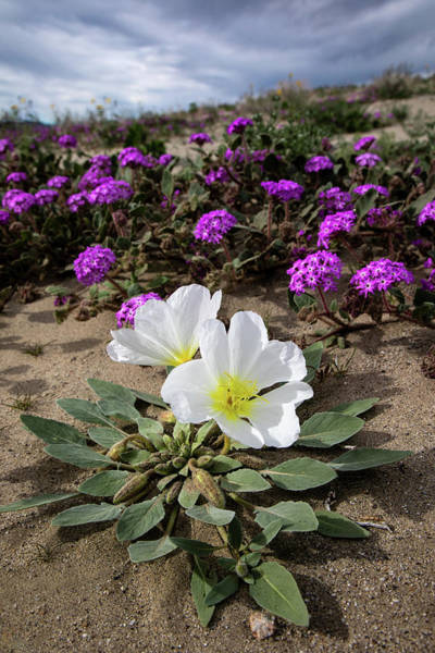 Desert Plant Photograph - Dune Evening Primrose  by Peter Tellone