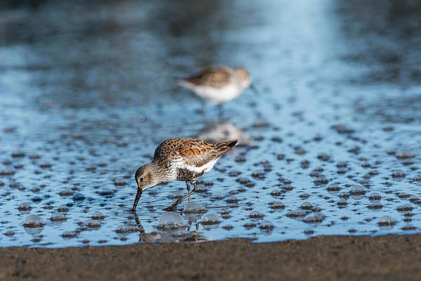 Photograph - Dunlin And Bubbles by Robert Potts