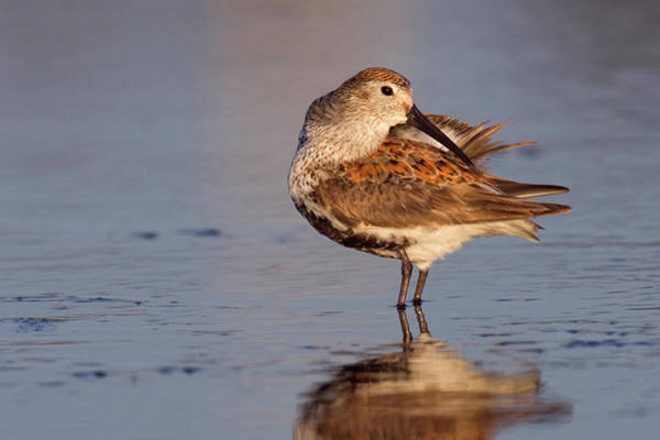 Wall Art - Photograph - Dunlin, Preening During Migration Stop by Ken Archer