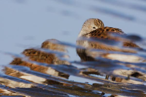 Wall Art - Photograph - Dunlin, Reflection Of Resting Bird by Ken Archer