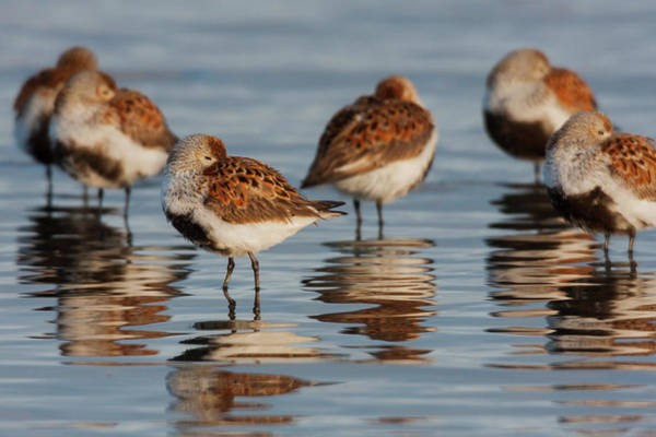 Dunlin Photograph - Dunlin, Resting During Spring Migration by Ken Archer