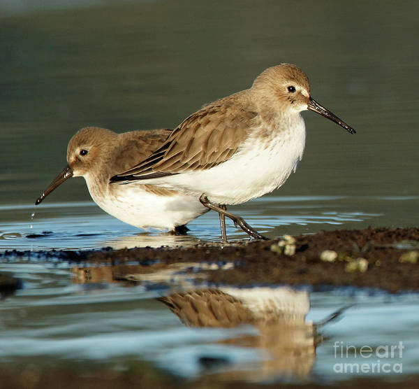 Photograph - Dunlins At Waters Edge by Sue Harper