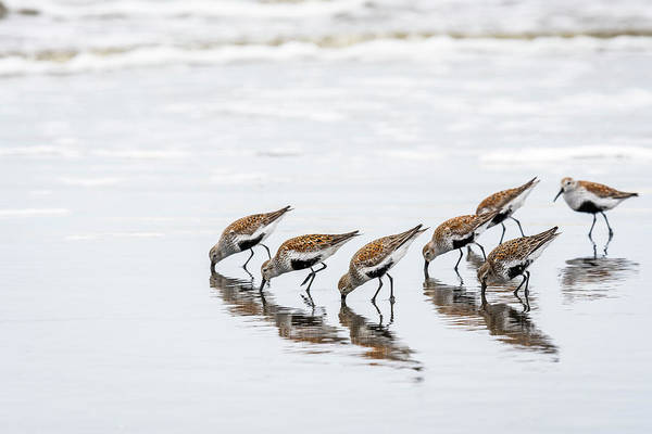Photograph - Dunlins Feeding by Robert Potts