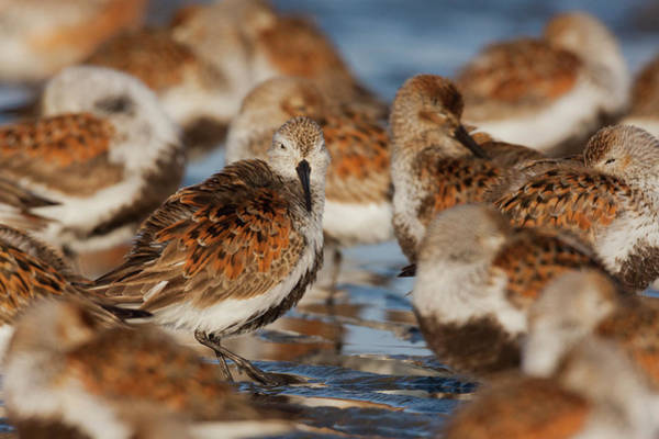Dunlin Photograph - Dunlins Resting During Migration Stop by Ken Archer