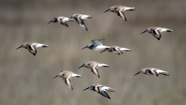 Photograph - Dunlins by Van Sutherland