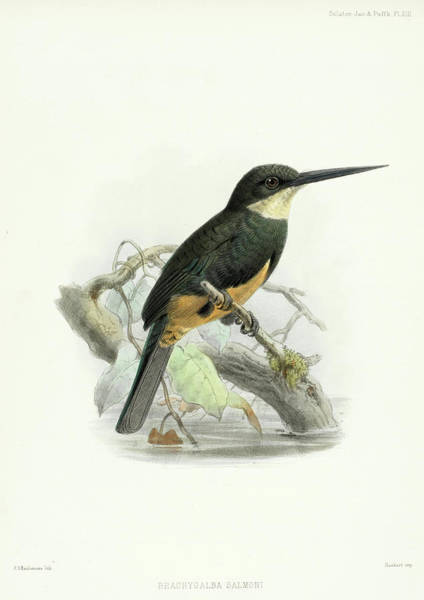 Wing Back Wall Art - Painting - Dusky-backed Jacamar by Philip Sclater