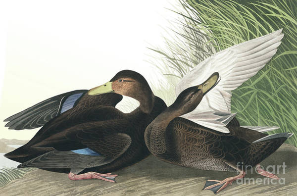 Wall Art - Painting - Dusky Duck, Anas Obscura By Audubon by John James Audubon