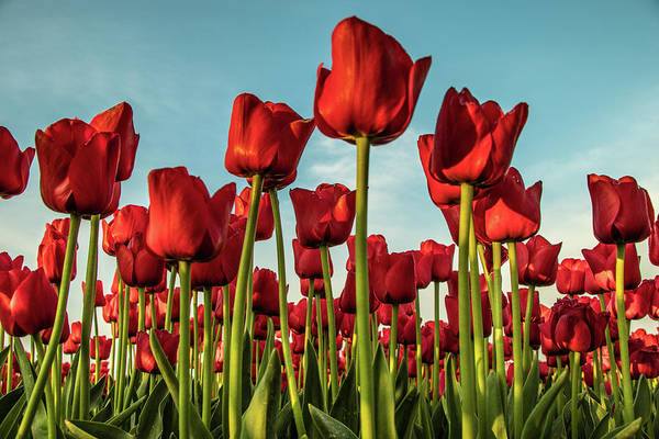 Art Print featuring the photograph Dutch Red Tulip Field. by Anjo Ten Kate