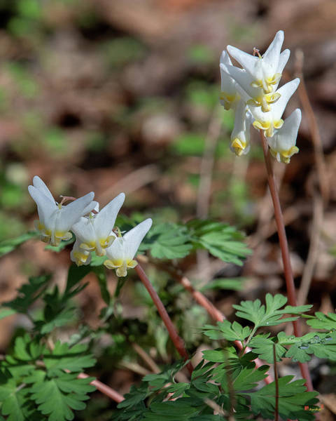 Photograph - Dutchmans Breeches Dfl0948 by Gerry Gantt
