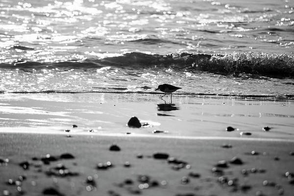 Photograph - Duxbury Beach Sandpiper At Sunrise Duxbury Ma Black And White by Toby McGuire