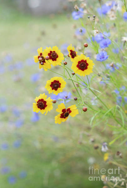 Photograph - Dyers Tickseed In Summer by Tim Gainey