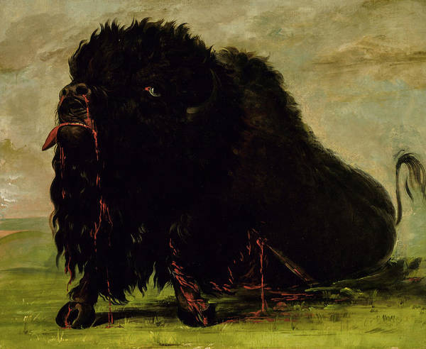 Wall Art - Painting - Dying Buffalo, Shot With An Arrow by George Catlin