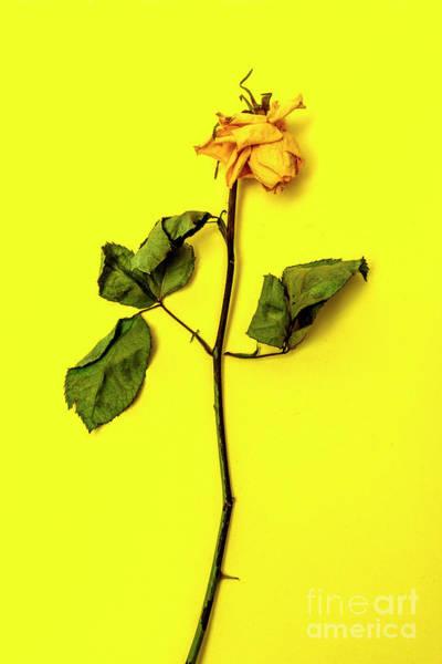 Wall Art - Photograph - Dying Flower Against A Yellow Background by Bernard Jaubert