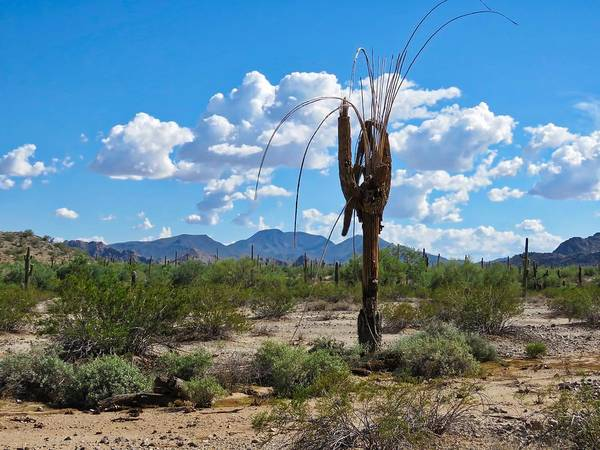 Photograph - Dying Saguaro In The Desert by Judy Kennedy