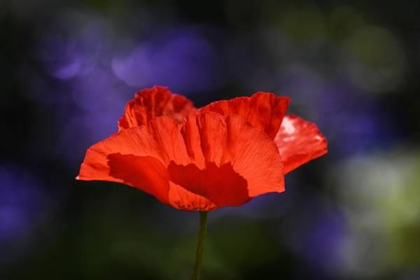 Photograph - Dynamic Red Poppy by Fraida Gutovich