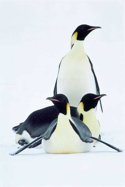 Vertebrate Photograph - E0415 Emperor Penguin Family by Mark J. Thomas