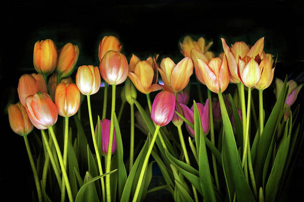 Wall Art - Photograph - Tulip Collection  by Jessica Jenney