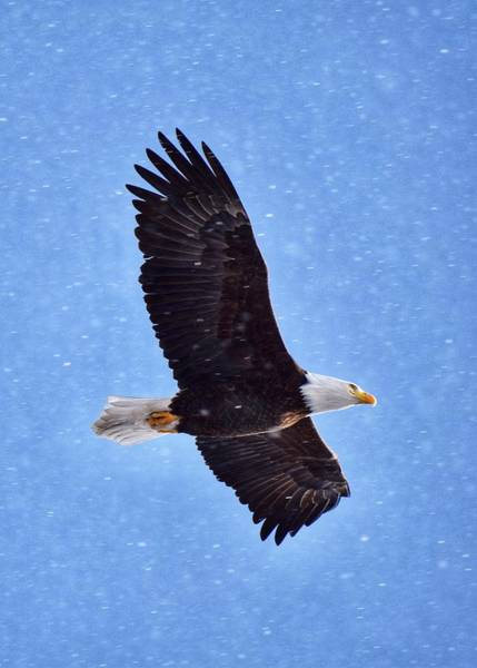 Wall Art - Photograph - Eagle Amongst The Snowflakes by Dana Hardy