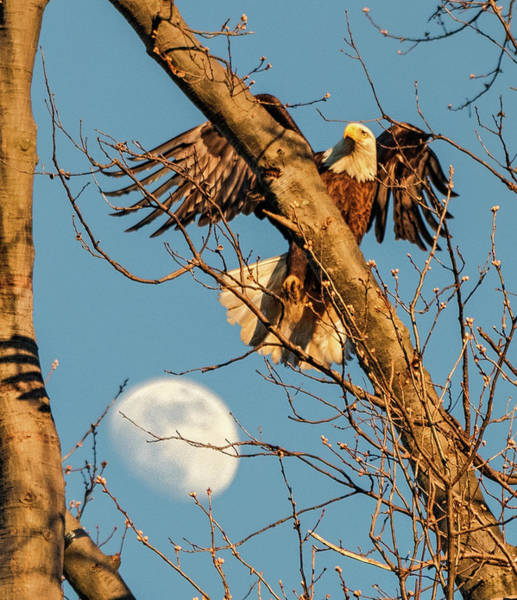 Photograph - Eagle And Moon  by Richard Kopchock