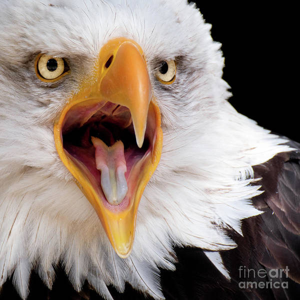 Photograph - Eagle Calls by Eyeshine Photography