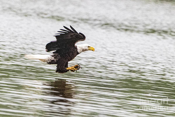 Wall Art - Photograph - Eagle Coming In For The Kill 2926t by Doug Berry