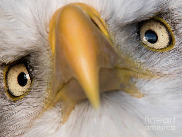 Photograph - Eagle Eyes by Eyeshine Photography