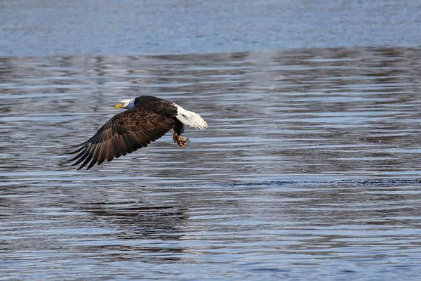 Wall Art - Photograph - Eagle Fishing 103 by Brook Burling