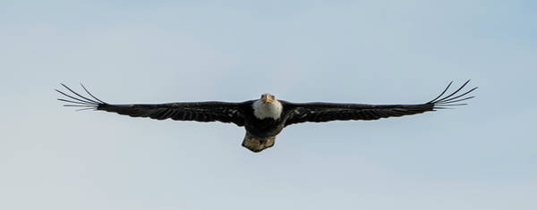 Eagle In Flight Photograph - Eagle Flying At You by Loree Johnson