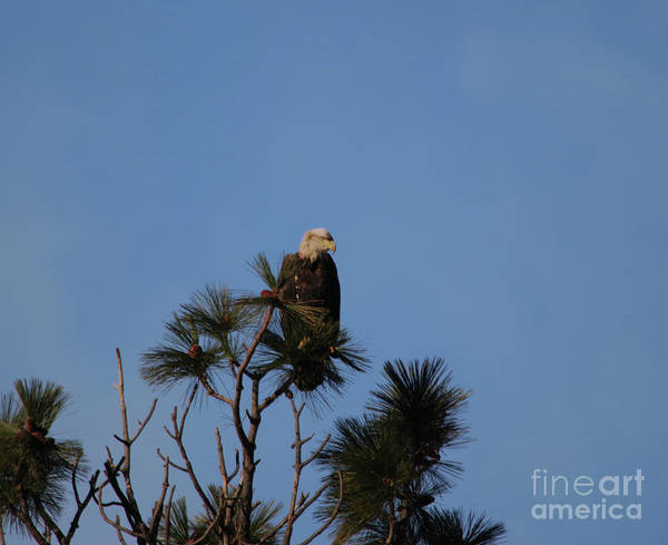 Wall Art - Photograph - Eagle Gazing From The Top Of A Tree by Jeff Swan