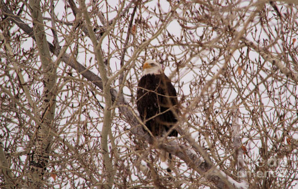 Wall Art - Photograph - Eagle In A Maze Of Branches  by Jeff Swan
