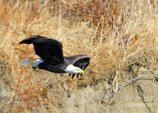 Photograph - Eagle In Flight by Paula Guttilla