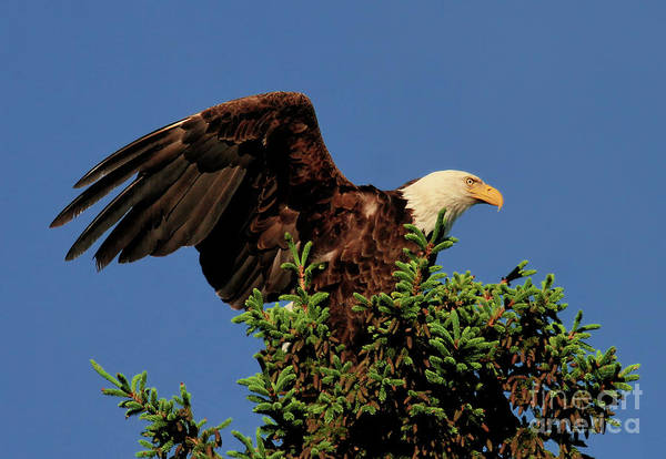 Photograph - Eagle In Treetop by Debbie Stahre