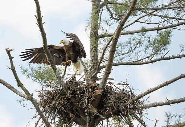 Photograph - Eagle Landing by Doug McPherson