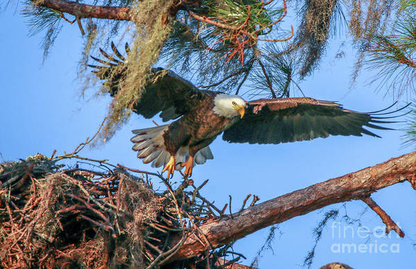 Photograph - Eagle Launch by Tom Claud