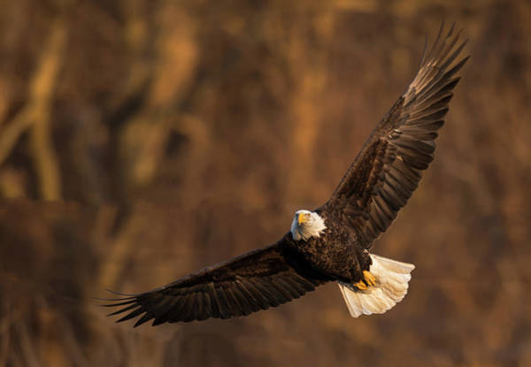 Photograph - Eagle On The Wing by Laura Hedien