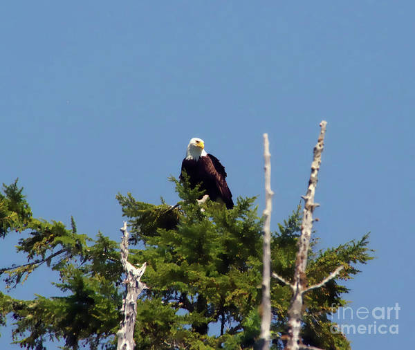Wall Art - Photograph - Eagle On Top A Tree by Jeff Swan