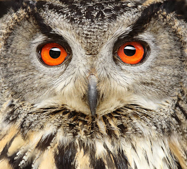 Eagle Owl Close Up Art Print