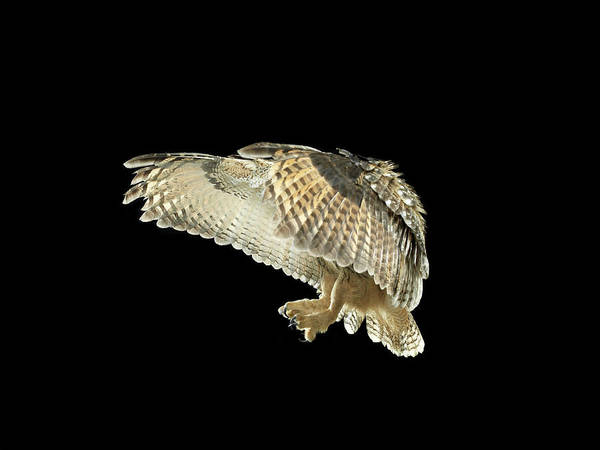 Body Parts Photograph - Eagle Owl Flapping His Wings by Michael Blann