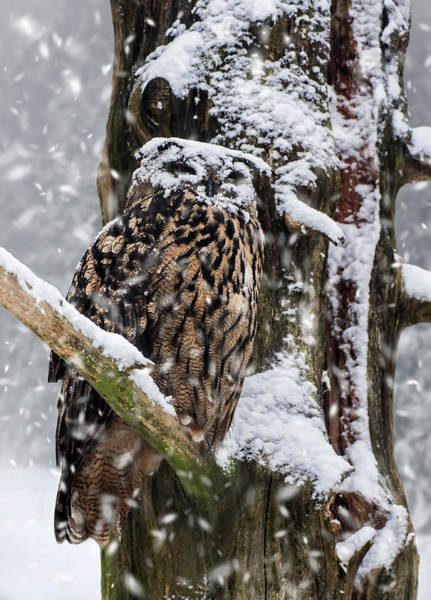 Photograph - Eagle Owl In Snowstorm by Arterra Picture Library