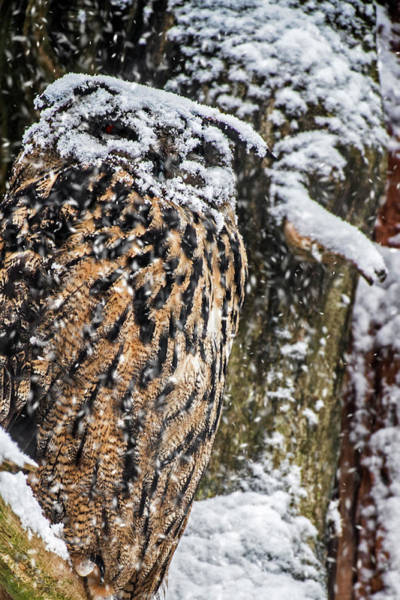 Photograph - Eagle Owl In The Snow by Arterra Picture Library