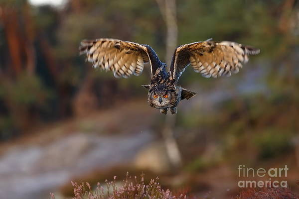 Wall Art - Photograph - Eagle Owl With Wide Open Wings by Michal Ninger